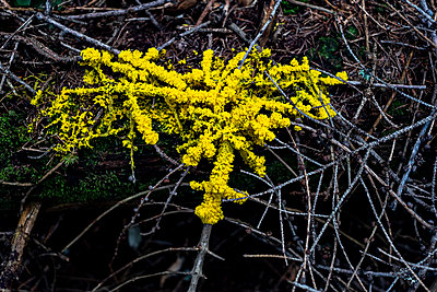 Branches overgrown with yellow moss  - p280m2172299 by victor s. brigola