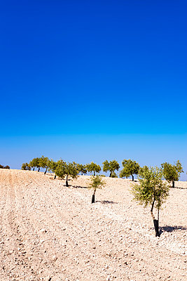 Spain, Andalusia, Olive plantation in spring - p300m1157259 by Scott Masterton
