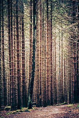 Nadelwald mit Waldweg - p360m800543 von Ralf Brocke