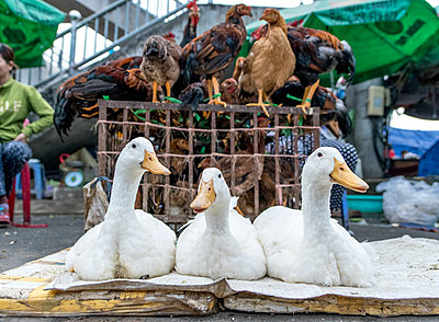 Gänse auf dem Markt - p393m1452262 von Manuel Krug
