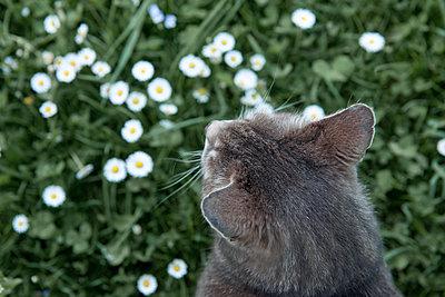 Grey cat with daisies - p533m2015607 by Böhm Monika