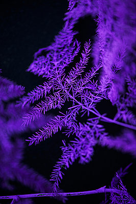 Purple fern - p947m1017258 by Cristopher Civitillo
