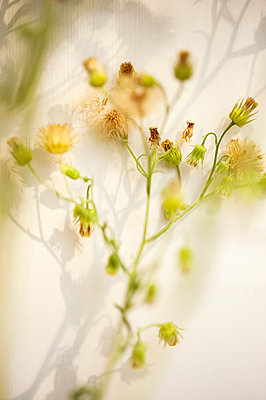 Groundsel plant with seedheads - p1047m2126867 by Sally Mundy