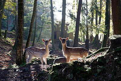 Germany, Furth im Wald, fallow deers at wildlife park - p300m2219372 by Lisa und Wilfried Bahnmüller