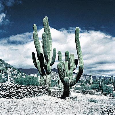 Cactus - p56710142 by daniel belet