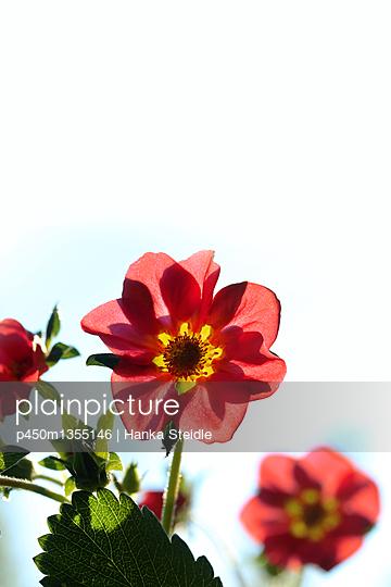 Rote Erdbeerblüten    - p450m1355146 von Hanka Steidle