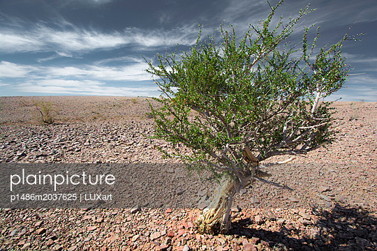 Baum in der Steinwüste - Namibia - p1486m2037625 von LUXart