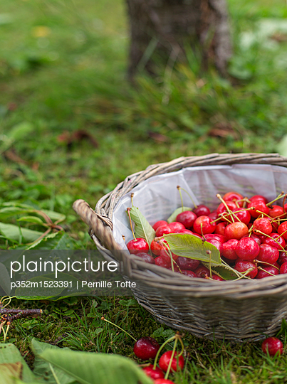 Basket of cherries - p352m1523391 by Pernille Tofte