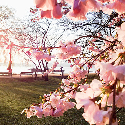 Cherry on the outer Alster in Hamburg, Hamburg, Germany - p300m1008718f by Mel Stuart