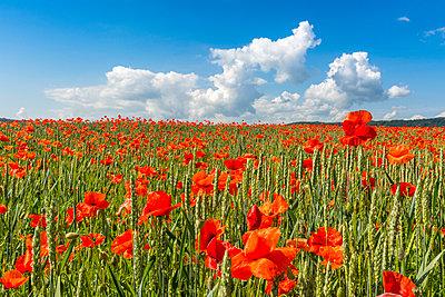 Poppy flower in a wheat field. Auvergne. France. - p813m1461148 by B.Jaubert