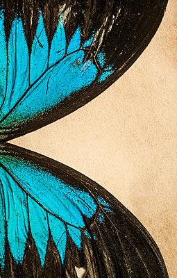 Butterfly wings - p971m1214446 by Reilika Landen