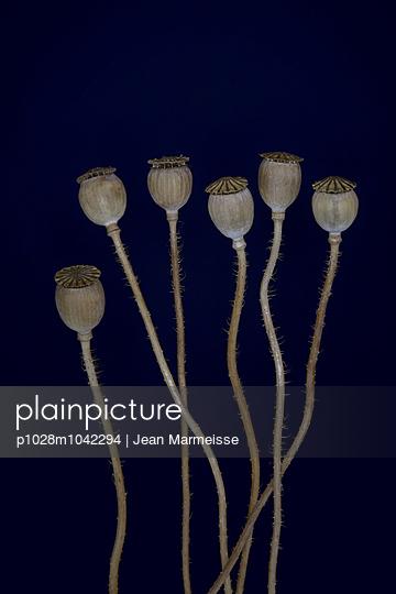 Dried poppies - p1028m1042294 by Jean Marmeisse
