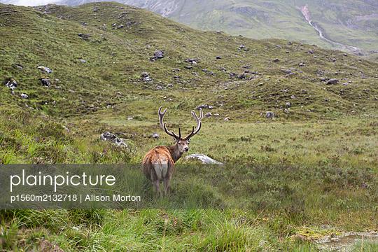 Hirsch in den Highlands - p1560m2132718 von Alison Morton
