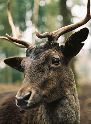 Red deer - p1195m1028226 by Kathrin Brunnhofer