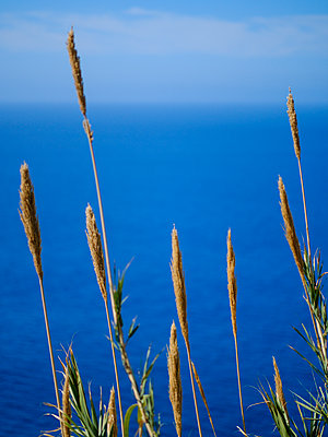 Portugal, Madeira, Reed - p1600m2175616 by Ole Spata