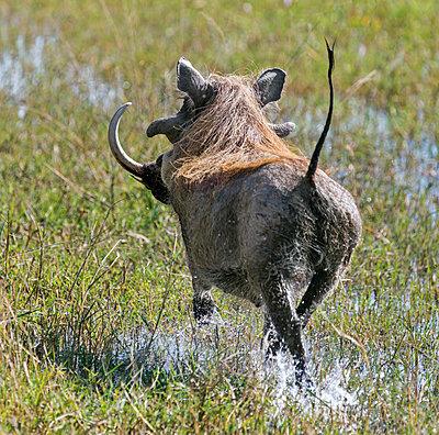 Botswana, Hunda Island, Okavango Delta. A large warthog running through shallow water. - p652m1505117 by Nigel Pavitt