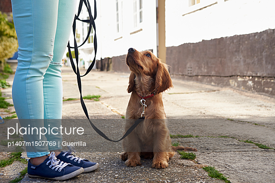 Cocker Spaniel Puppy On Outdoor Walk With Owner - p1407m1507769 by Guerrilla