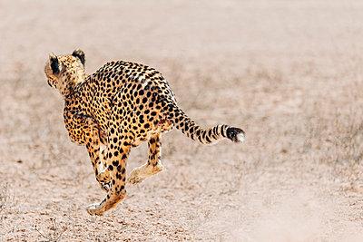 Ein Gepard in schnellem Lauf, Kalahari, Südafrika - p1065m982678 von KNSY Bande