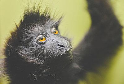 Monkey Portrait - p1072m2164587 by Neville Mountford-Hoare