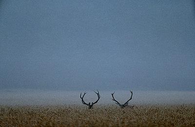 Reindeers in field - p5752124f by Stefan Ortenblad