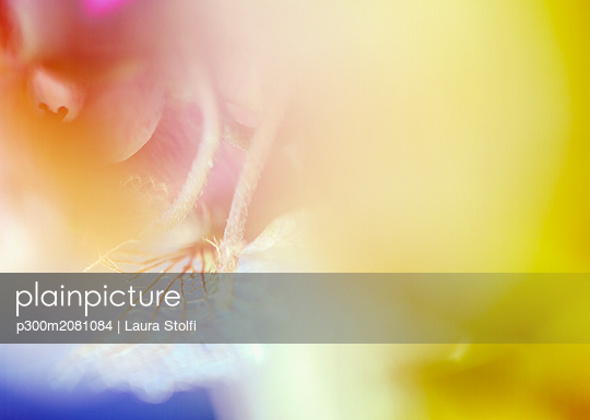 Hydrangea, macro - p300m2081084 by Laura Stolfi