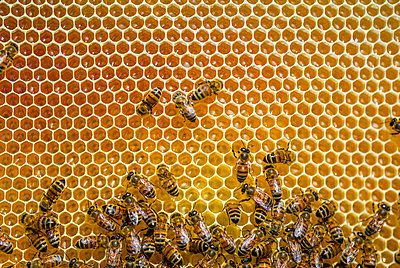 Close-up of honeybees sitting on honeycombs - p300m2121638 by Giorgio Magini