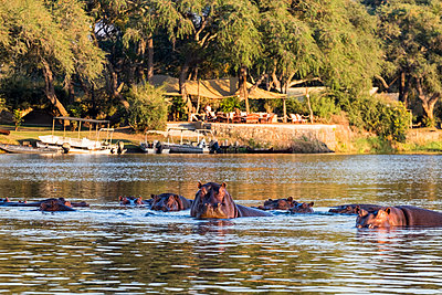 Flusspferde im Südluangwa-Nationalpark - p842m1538212 von Renée Del Missier