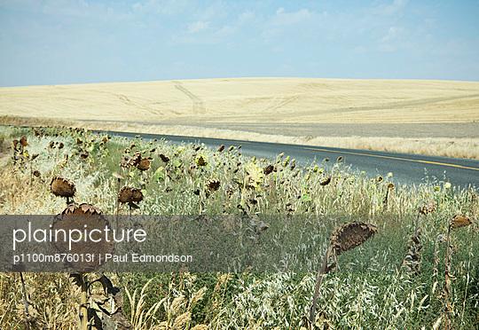 Dried sunflowers on the roadside, in a rolling landscape of farmland near Palouse in Washington state.