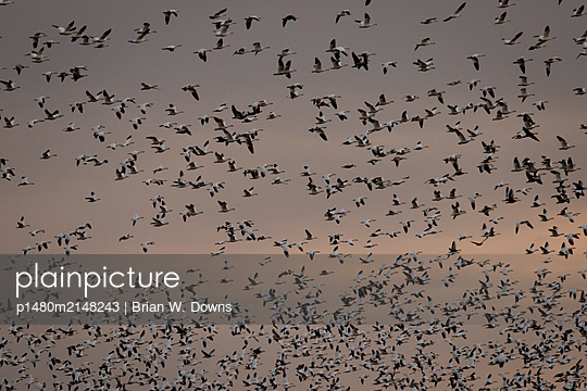 Thousands of Snow Geese blast off from a field - p1480m2148243 by Brian W. Downs