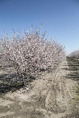 Almond farming - p1134m1440762 by Pia Grimbühler