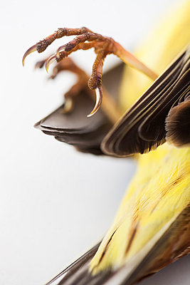 Close-up of dead bird claws - p312m996758f by Lina Karna Kippel