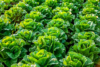 Crop of romaine lettuce growing in a field; Nova Scotia, Canada - p442m2091703 by Richard Desmarais