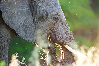 African Elephant in the backlight - p533m1152717 by Böhm Monika
