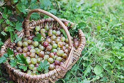 Wicker basket full of freshly harvested gooseberries - p300m2160141 by Gaby Wojciech