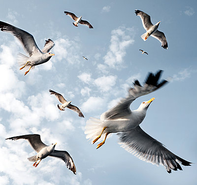 Seagulls - p716m1586815 by Wolfgang Uhlig