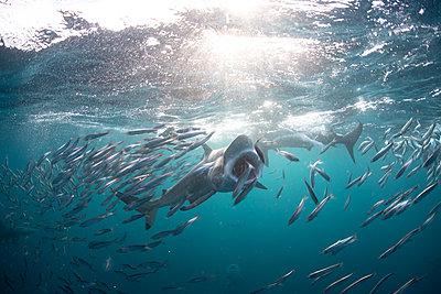 Sardine baitballs being hit by multiple predators - p924m2165023 by Rodrigo Friscione