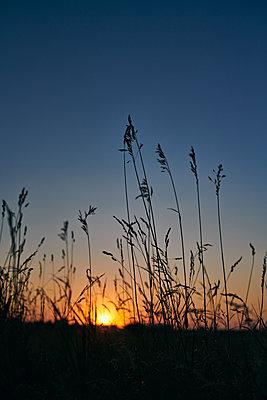 Gräser im Sonnenuntergang - p227m2008259 von Uwe Nölke