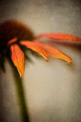 Close-up of orange Echinacea flower - p1047m987408 by Sally Mundy