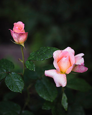 Roses in rain - p1088m902228 by Martin Benner