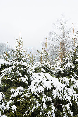 Trees covered in snow - p9243842f by Image Source