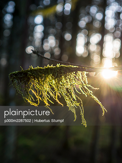 Tree branch covered with moss in forest - p300m2287502 by Hubertus Stumpf