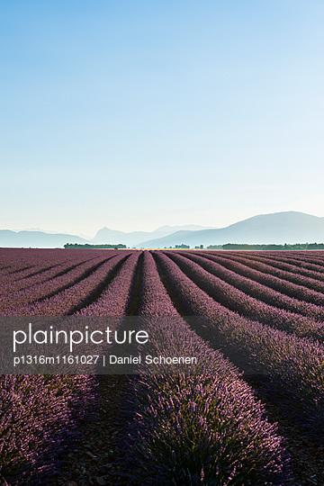 Lavendelfeld, bei Valensole, Plateau de Valensole, Alpes-de-Haute-Provence, Provence, Frankreich - p1316m1161027 von Daniel Schoenen