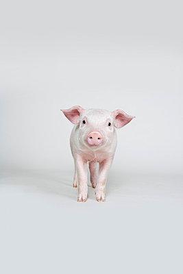 Piglet, studio shot - p3018946f by Paul Hudson