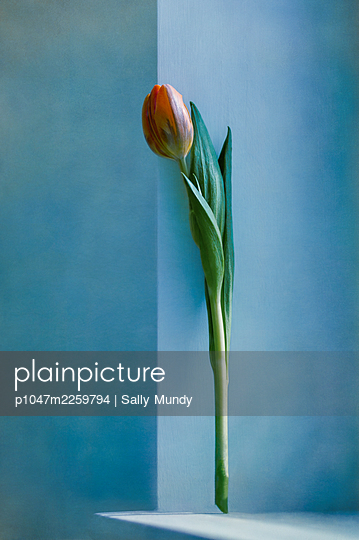 Orange tulip flower on stem standing on shelf leaning against blue wall - p1047m2259794 by Sally Mundy