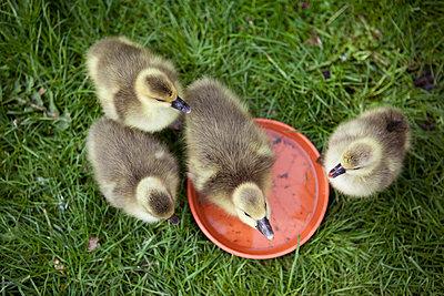 Ducklings - p1195m1071059 by Kathrin Brunnhofer