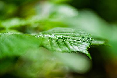 Rain drops on hazle leaf - p1418m2193312 by Jan Håkan Dahlström