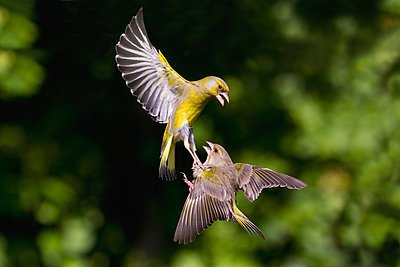 European Greenfinch  pair fighting while flying, Lower Saxony, Germany - p884m1129294 by Duncan Usher