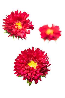 Asternblüten - p919m2204187 von Beowulf Sheehan
