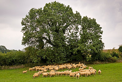 Flock of sheep grazing in a field , Oxfordshire, England - p871m837924 by Tim Graham