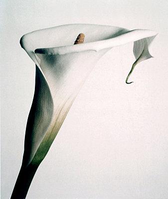 Calla Lilly - p9790597 by Dahmen